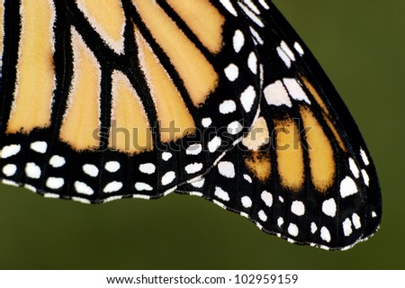 Close up of Monarch Butterfly wings. - stock photo