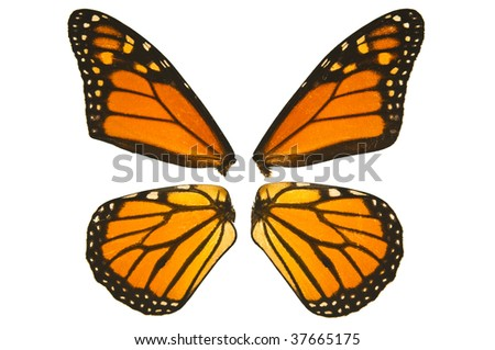 Close up of monarch butterfly wings on a white background - stock photo