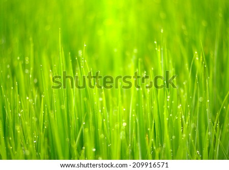 close up of morning dew on rice field - stock photo