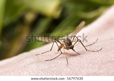 close-up of mosquito sucking blood - stock photo