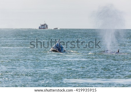 Close-up of mother Gray Whale and baby, a critically endangered species, in San Francisco Bay - stock photo