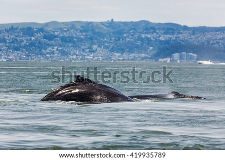 Close-up of Mother Gray Whale, eschrichtius robustus, a critically endangered species, and baby swimming in San Francisco Bay by the Golden Gate bridge, an unusual occurrence - stock photo