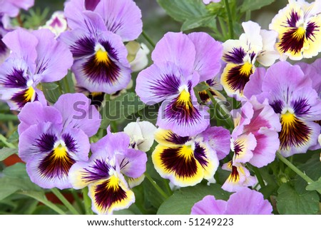 Close-up of multicolored yellow and purple pansy (viola) - stock photo