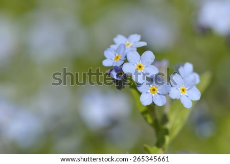 Close-up of Myosotis sylvaticain in a garden - stock photo