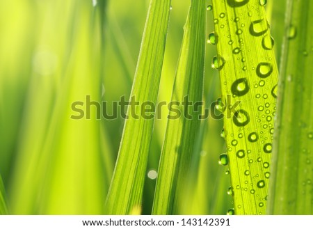 close up of nature fresh green grass with dews drop - stock photo