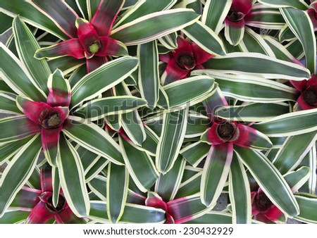 Close Up of Neoregela Bromeliad  - stock photo