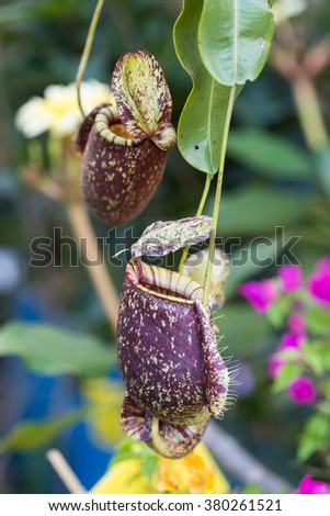 Close up of Nepenthes (carnivorous plant ) in a garden in Phuket. Also known as tropical pitcher plants, is a genus of carnivorous plants in the monotypic family Nepenthaceae - stock photo