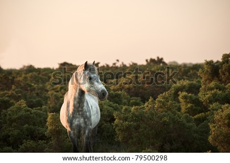 Close up of New Forest pony bathed in warm glowing sunrise sunlight in landscape - stock photo