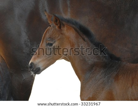 Close up of newborn foal standing next to her mother. Both horses are bay colored. Isolated against a white background with copy space bottom center.