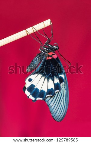Close up of newly born great mormon butterfly clinging on stick with red background - stock photo