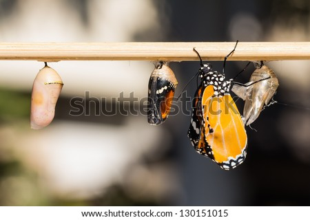 Close up of newly emerged Plain Tiger butterfly clinging beside its pupal case and a mature pupa and a young pupa - stock photo