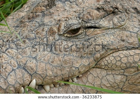 Close up of Nile Crocodiles eye and mouth