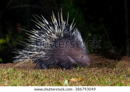 Close up of nocturnal animals Malayan porcupine(Hystrix brachyura) in real nature at Kaengkracharn national park,Thailand - stock photo