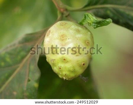 Close-up of Noni fruit and leaf   - stock photo