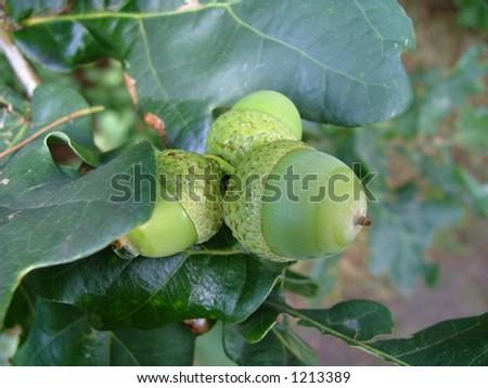 close up of oak - stock photo