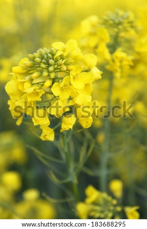 Close up of oilseed rape blooming. - stock photo