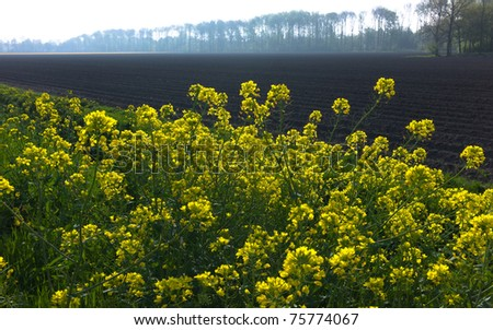 Close-up of oilseed rapeseed field in spring - stock photo