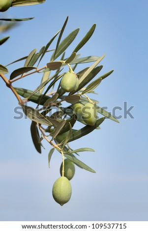 Close up of olives at tree branch, Mediterranean countries