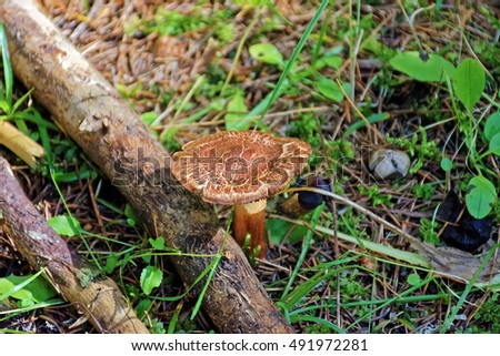 Close-up of one beautiful brown mushroom among pine needles in the autumn forest. Blurred background.