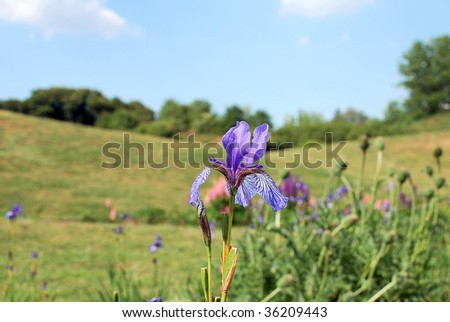 Close-up of one blooming blue iris - stock photo