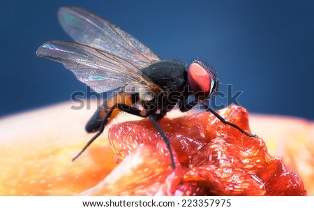 close up of one fruit fly standing on a rotten plant flesh - stock photo