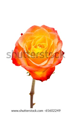 Close up of one lipstick rose flower isolated on white background. - stock photo