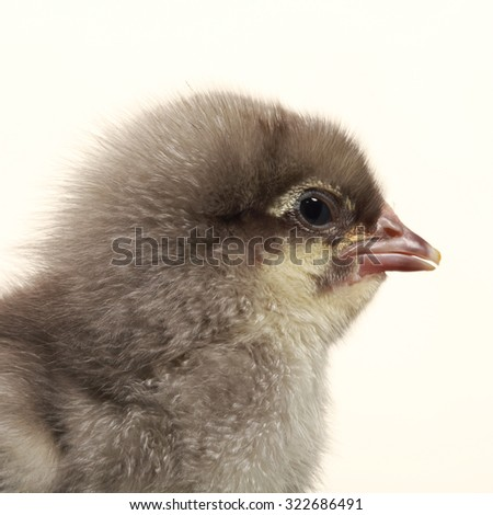 close-up of one small fluffy chicken on a light background studio - stock photo