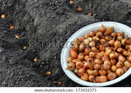 close-up of onion in planting process in the vegetable garden - stock photo