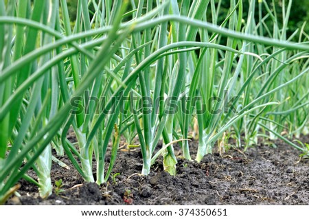 close-up of onion plantation in the vegetable garden - stock photo