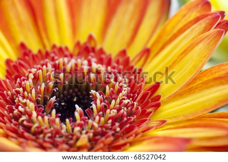 Close up of orange  and red gerbera daisy. - stock photo