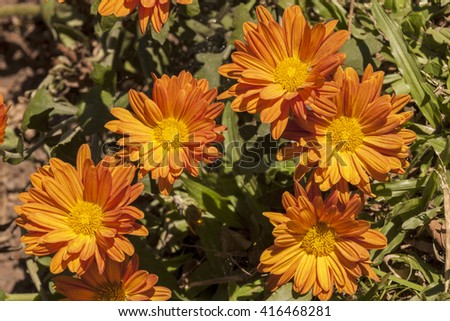 Close up of orange and yellow chrysanthemum flowers on shrub in garden