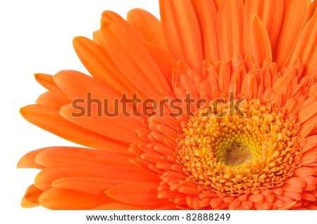 Close up of Orange daisy-gerbera.
