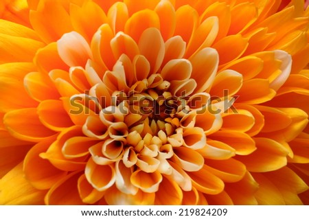 Close up of orange flower : aster for background or texture