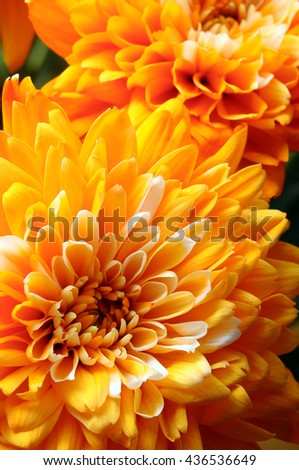 Close up of orange flower : aster for background or texture - stock photo