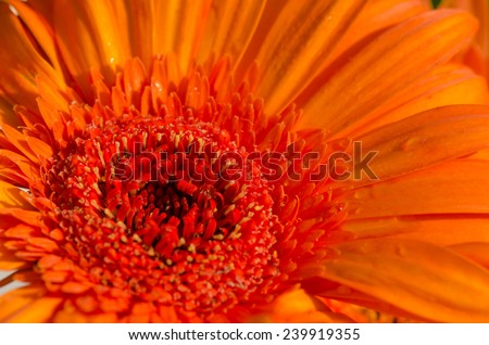 Close up of orange gerbera flower. - stock photo