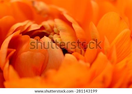 Close-up of orange ranunculus petals opening - stock photo