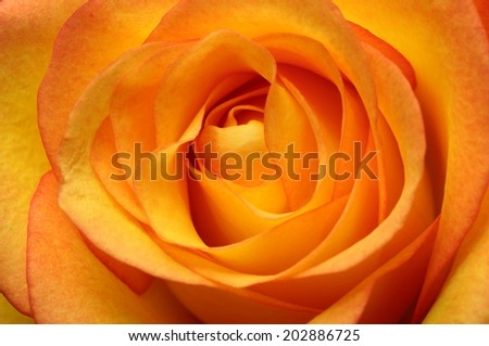 Close up of orange rose flower bouquet