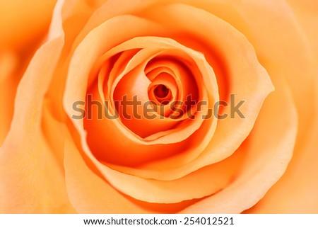 Close up of orange rose petals. - stock photo
