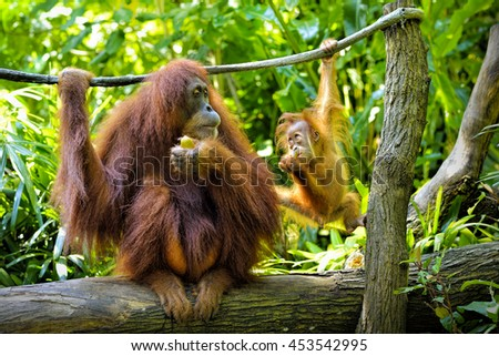 Close up of orangutan in the park, selective focus.  - stock photo