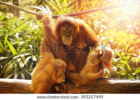 Close up of orangutans, selective focus. - stock photo