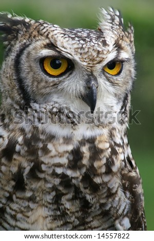 Close up of owl with details of head, eyes and beak against blurred green background