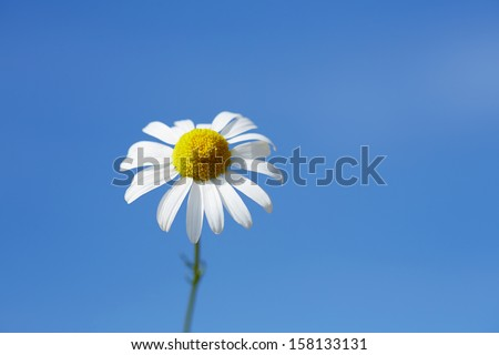 Close up of oxeye daisy, Leucanthemum vulgare, against blue sky