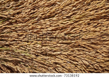 Close up of paddy background - stock photo