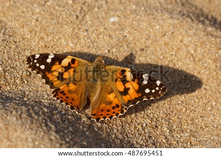 Close up of Painted Lady butterfly alighted on the sand. Upper side view of Vanessa cardui butterfly on the beach