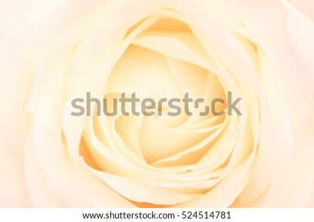 Close up of pale pink rose flower background