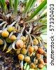 Close up of palm tree fruit - Cycas circinalis - stock photo