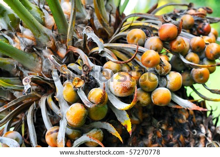 Close up of palm tree fruit - Cycas circinalis - stock photo