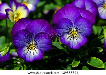 Close up of pansy flowers - stock photo