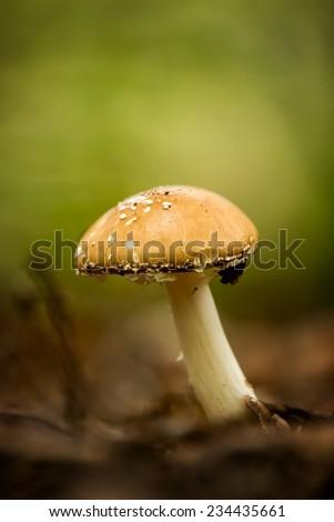 Close up of panther cap(Amanita Pantherina) mushroom - stock photo