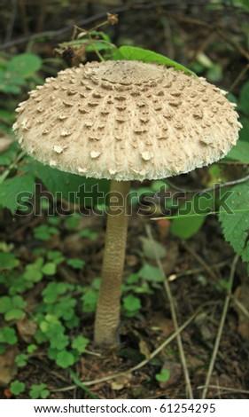 Close up of Parasol Mushroom (Macrolepiota Procera) growing in lush grass - stock photo